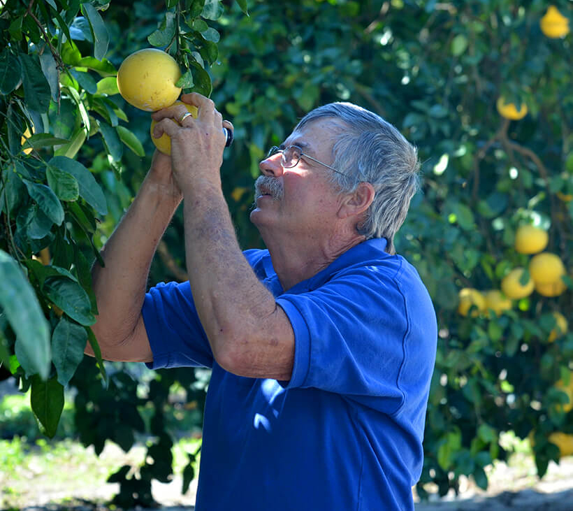 Where Crisis Meets Opportunity: man inspecting fruit through scope in a citrus grove.