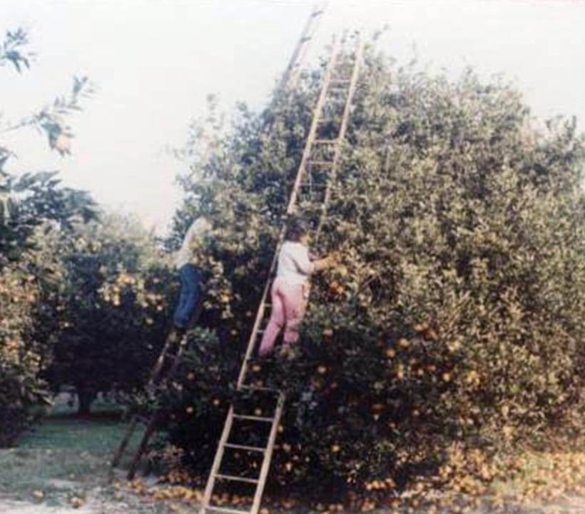 Cherrylake Real Estate Where Trade Meets Innovation: Two people on ladders picking citrus from citrus tree in Florida grove.